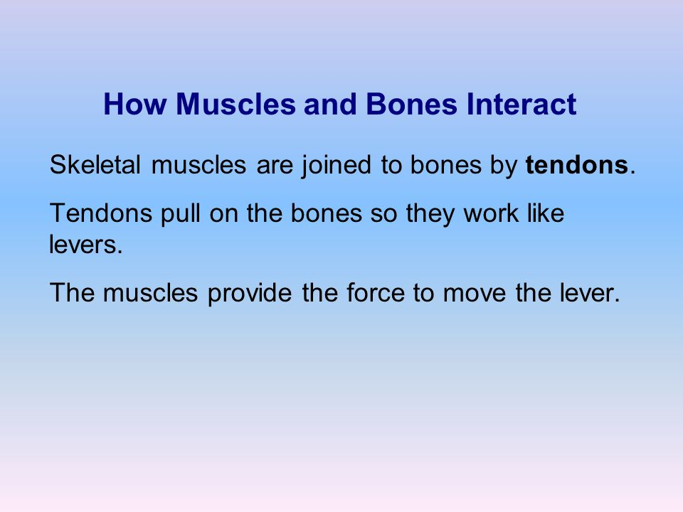 How Muscles and Bones Interact Skeletal muscles are joined to bones by tendons.