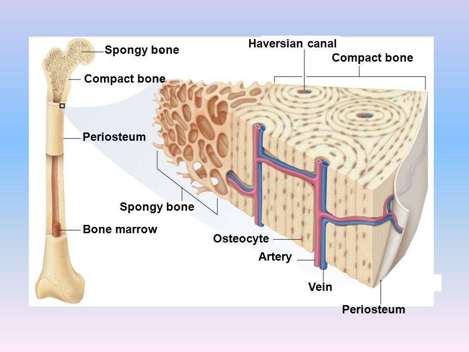 Bone marrow Periosteum Spongy bone Compact bone Haversian canal Compact bone Spongy bone Periosteum Osteocyte Artery Vein