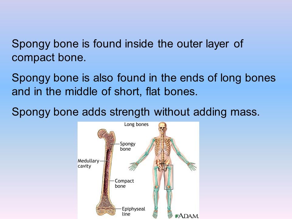 Spongy bone is found inside the outer layer of compact bone.