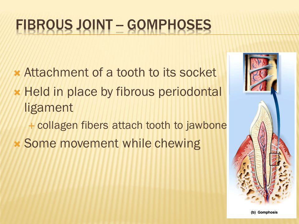  Attachment of a tooth to its socket  Held in place by fibrous periodontal ligament  collagen fibers attach tooth to jawbone  Some movement while chewing 7-6