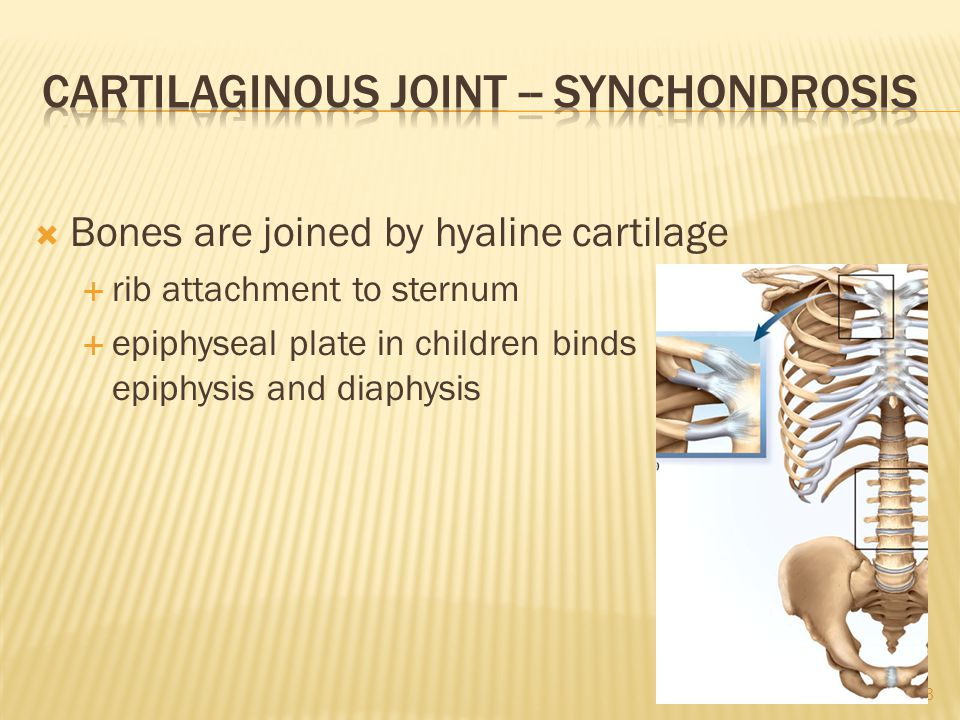  Bones are joined by hyaline cartilage  rib attachment to sternum  epiphyseal plate in children binds epiphysis and diaphysis 7-8