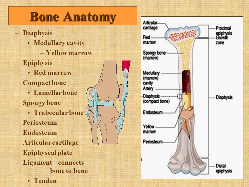 –Diaphysis Medullary cavity –Yellow marrow –Epiphysis Red marrow –Compact bone Lamellar bone –Spongy bone Trabecular bone –Periosteum –Endosteum –Arti