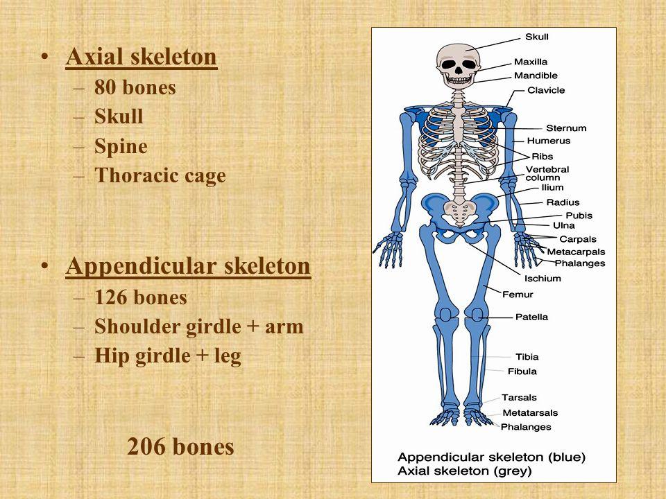 Axial skeleton –80 bones –Skull –Spine –Thoracic cage Appendicular skeleton –126 bones –Shoulder girdle + arm –Hip girdle + leg 206 bones