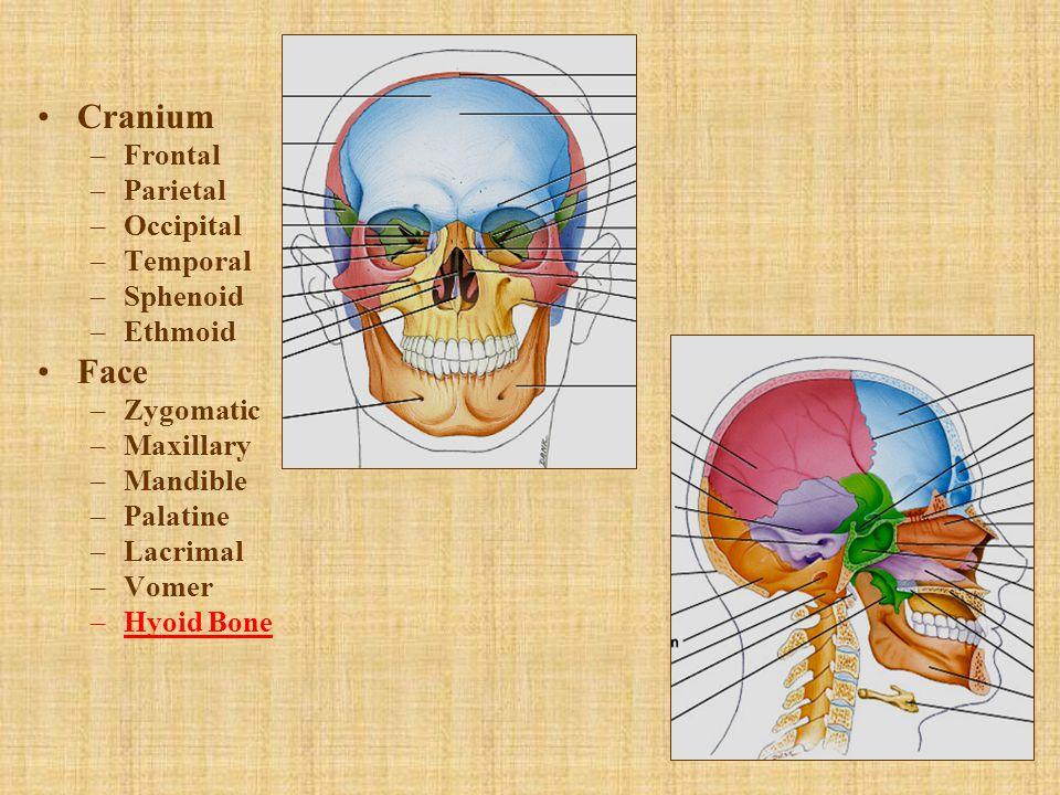 Cranium –Frontal –Parietal –Occipital –Temporal –Sphenoid –Ethmoid Face –Zygomatic –Maxillary –Mandible –Palatine –Lacrimal –Vomer –Hyoid Bone
