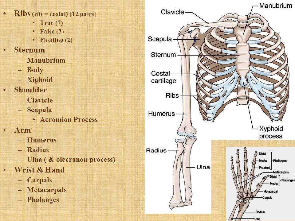 Ribs (rib = costal) [12 pairs] True (7) False (3) Floating (2) Sternum –Manubrium –Body –Xiphoid Shoulder –Clavicle –Scapula Acromion Process Arm –Hum