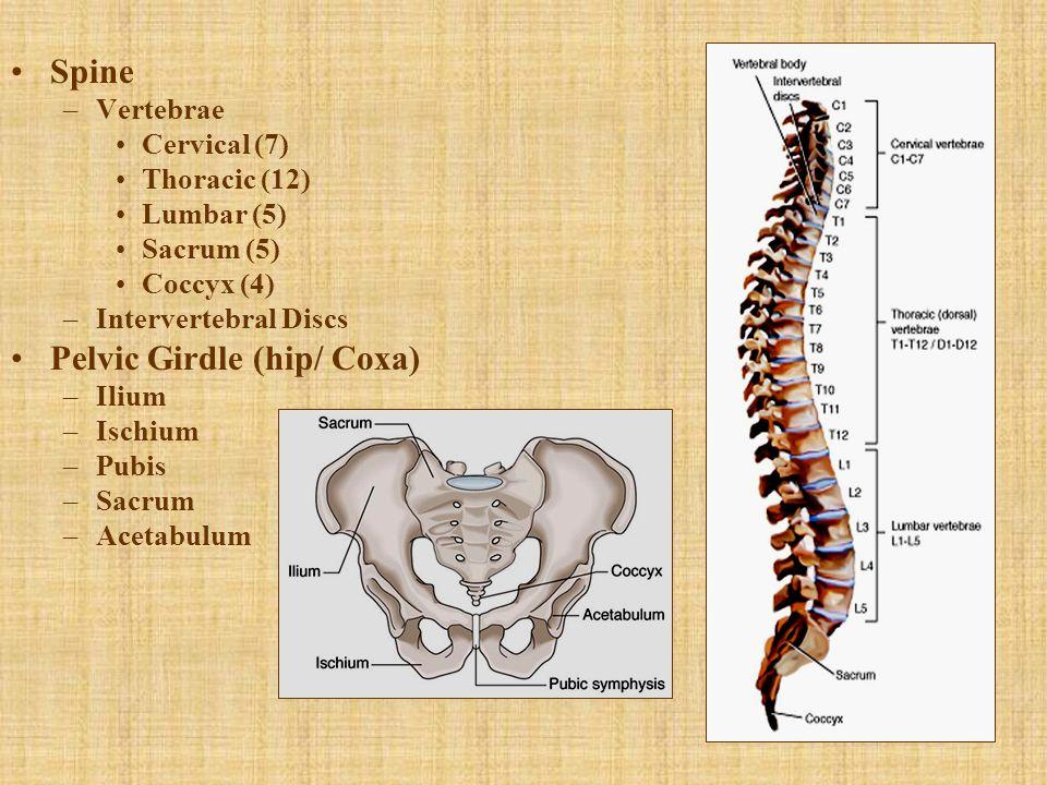 Spine –Vertebrae Cervical (7) Thoracic (12) Lumbar (5) Sacrum (5) Coccyx (4) –Intervertebral Discs Pelvic Girdle (hip/ Coxa) –Ilium –Ischium –Pubis –S