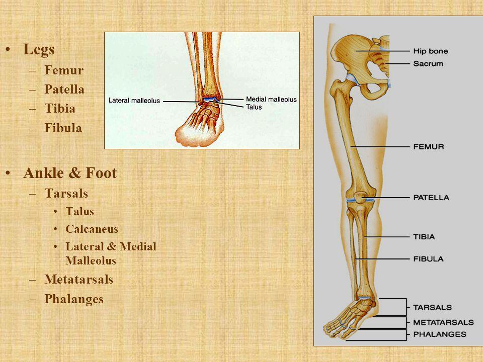 Legs –Femur –Patella –Tibia –Fibula Ankle & Foot –Tarsals Talus Calcaneus Lateral & Medial Malleolus –Metatarsals –Phalanges