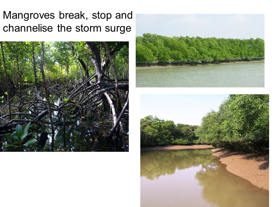 Mangroves break, stop and channelise the storm surge