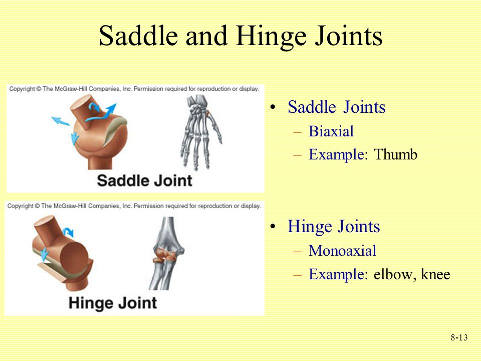 8-13 Saddle and Hinge Joints Saddle Joints –Biaxial –Example: Thumb Hinge Joints –Monoaxial –Example: elbow, knee