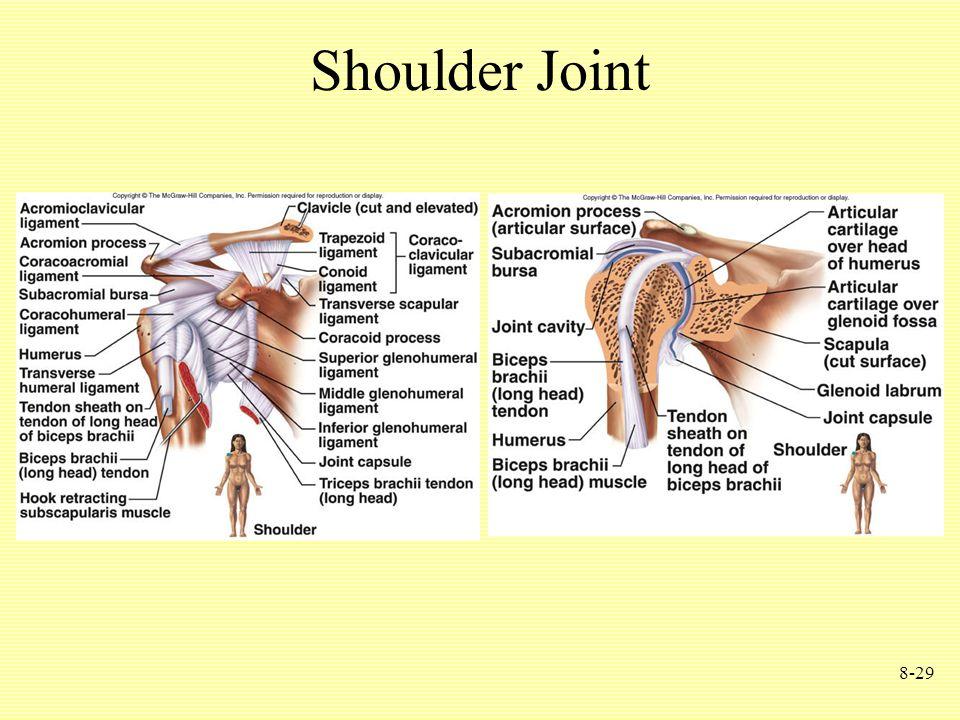 8-29 Shoulder Joint
