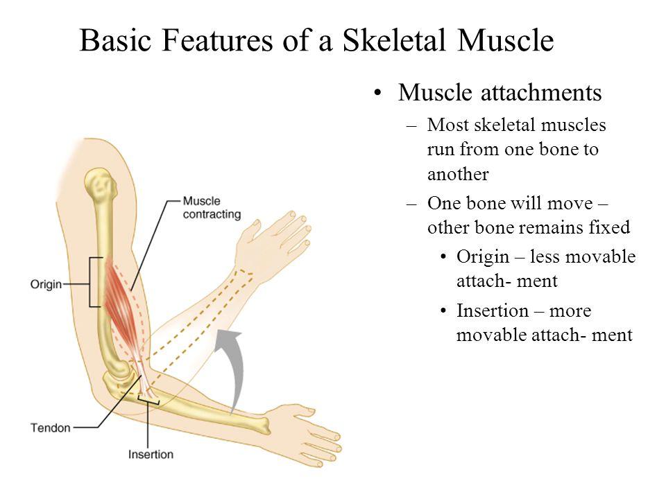 Motor Unit Ratios Back muscles –1:100 Finger muscles –1:10 Eye muscles –1:1