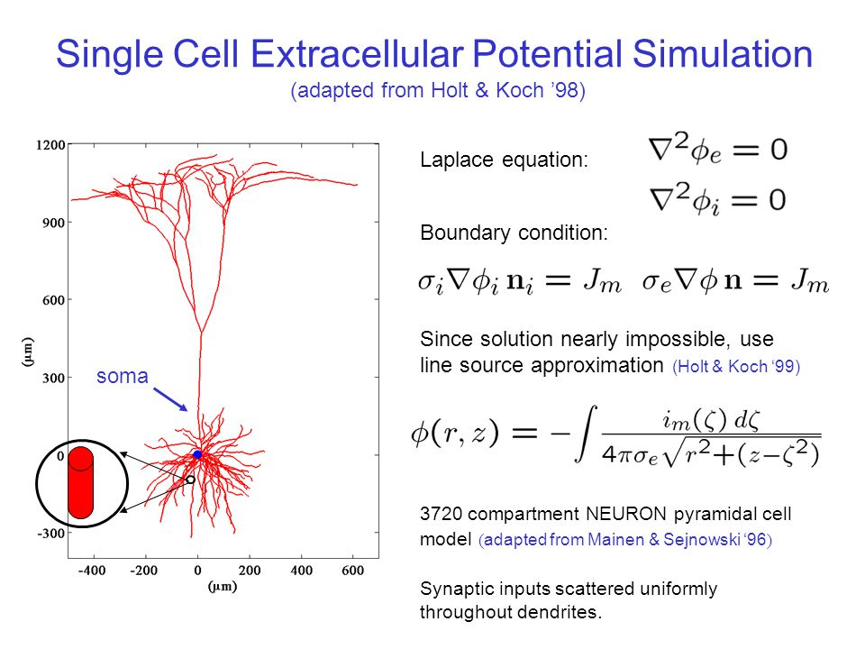 Single Cell Extracellular Potential Simulation (adapted from Holt & Koch '98) 3720 compartment NEURON pyramidal cell model ( adapted from Mainen & Sejnowski '96 ) Synaptic inputs scattered uniformly throughout dendrites.