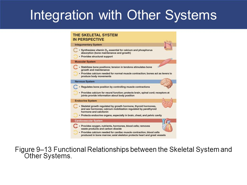 Integration with Other Systems Figure 9–13 Functional Relationships between the Skeletal System and Other Systems.