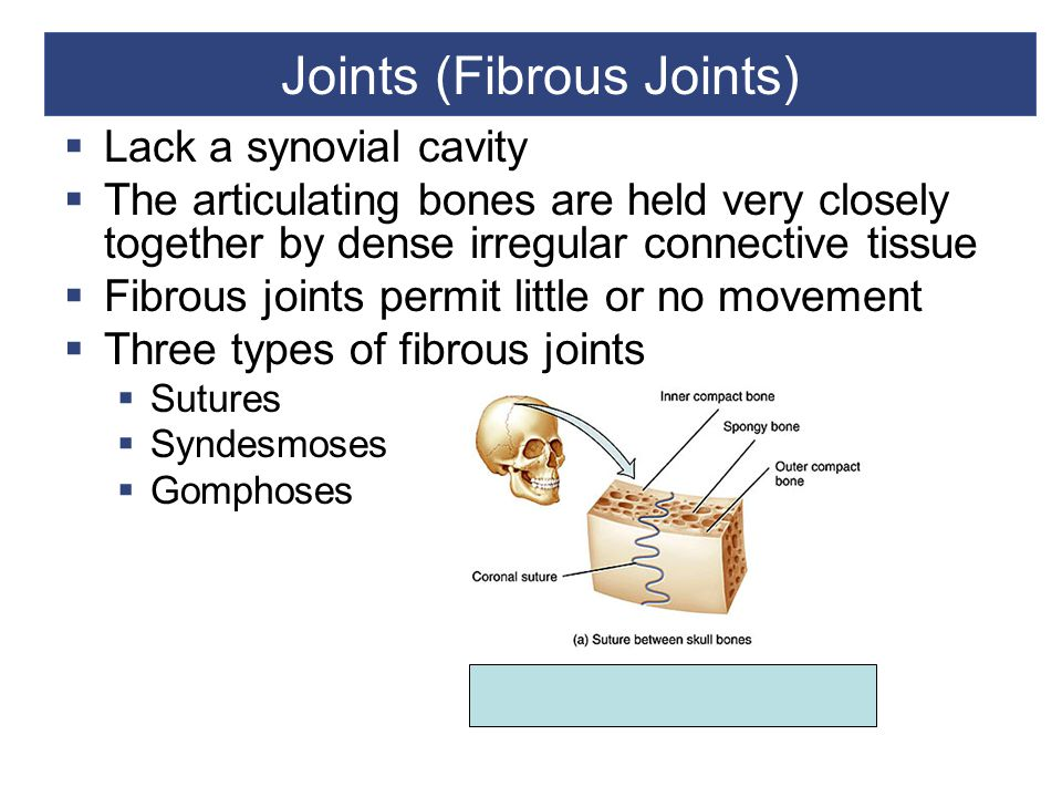 Joints (Fibrous Joints)  Lack a synovial cavity  The articulating bones are held very closely together by dense irregular connective tissue  Fibrous joints permit little or no movement  Three types of fibrous joints  Sutures  Syndesmoses  Gomphoses