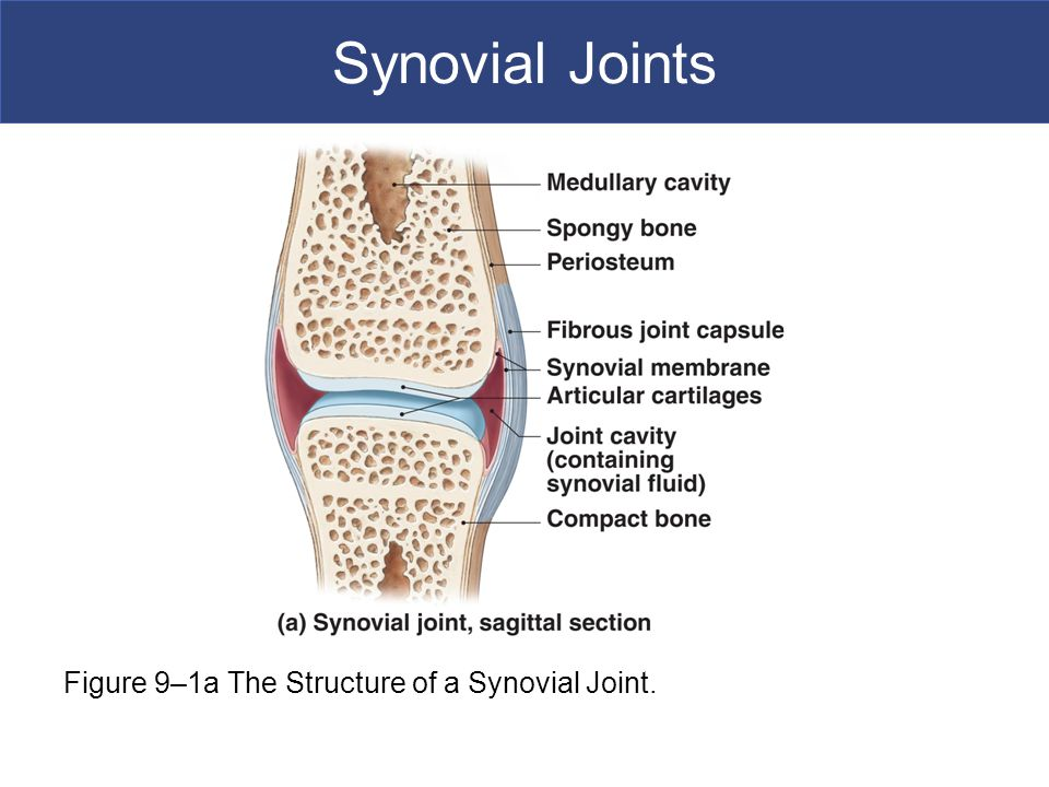 Synovial Joints [INSERT FIG. 9.1a] Figure 9–1a The Structure of a Synovial Joint.