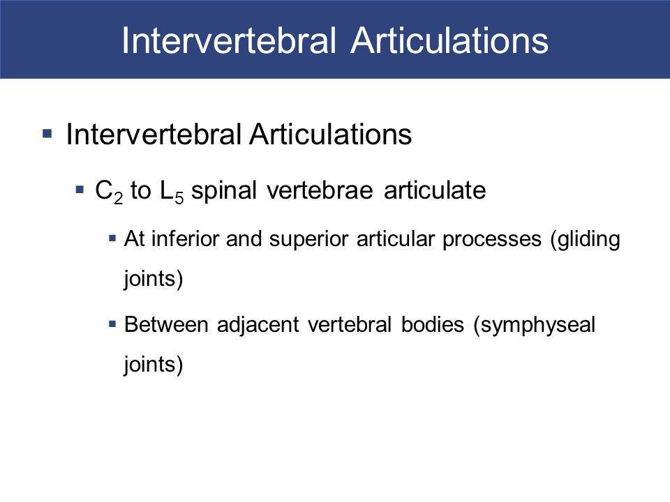 Intervertebral Articulations  Intervertebral Articulations  C 2 to L 5 spinal vertebrae articulate  At inferior and superior articular processes (g