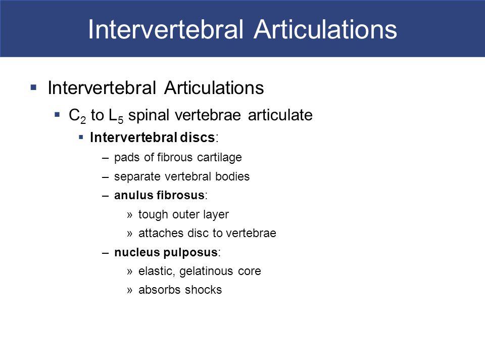 Intervertebral Articulations  Intervertebral Articulations  C 2 to L 5 spinal vertebrae articulate  Intervertebral discs: –pads of fibrous cartilag