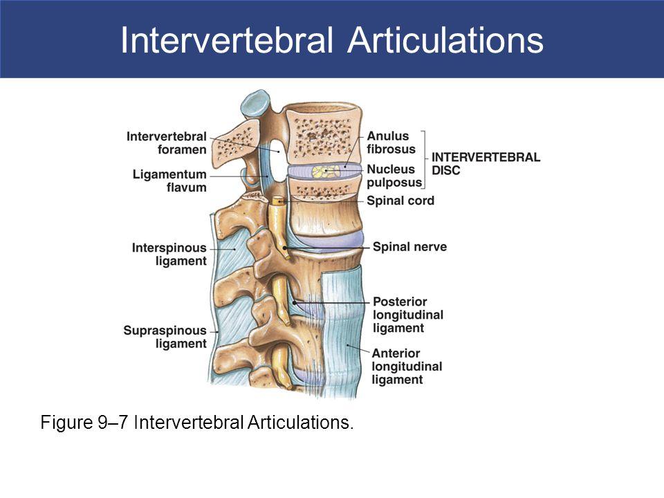 Intervertebral Articulations Figure 9–7 Intervertebral Articulations.