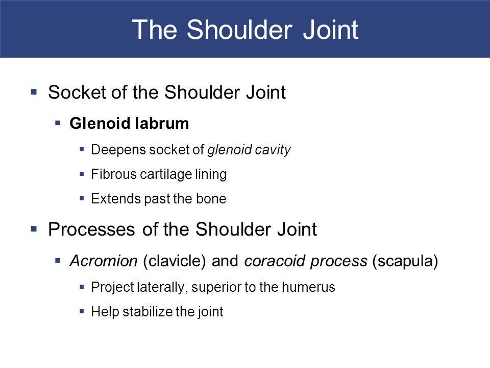 The Shoulder Joint  Socket of the Shoulder Joint  Glenoid labrum  Deepens socket of glenoid cavity  Fibrous cartilage lining  Extends past the bone  Processes of the Shoulder Joint  Acromion (clavicle) and coracoid process (scapula)  Project laterally, superior to the humerus  Help stabilize the joint