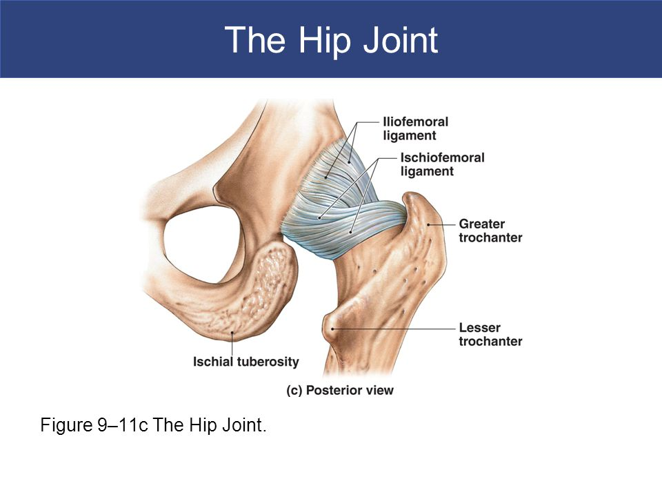 The Hip Joint Figure 9–11c The Hip Joint.