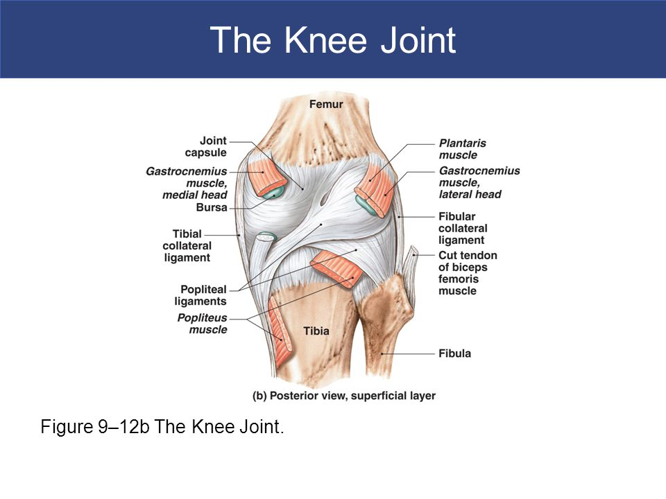 The Knee Joint Figure 9–12b The Knee Joint.