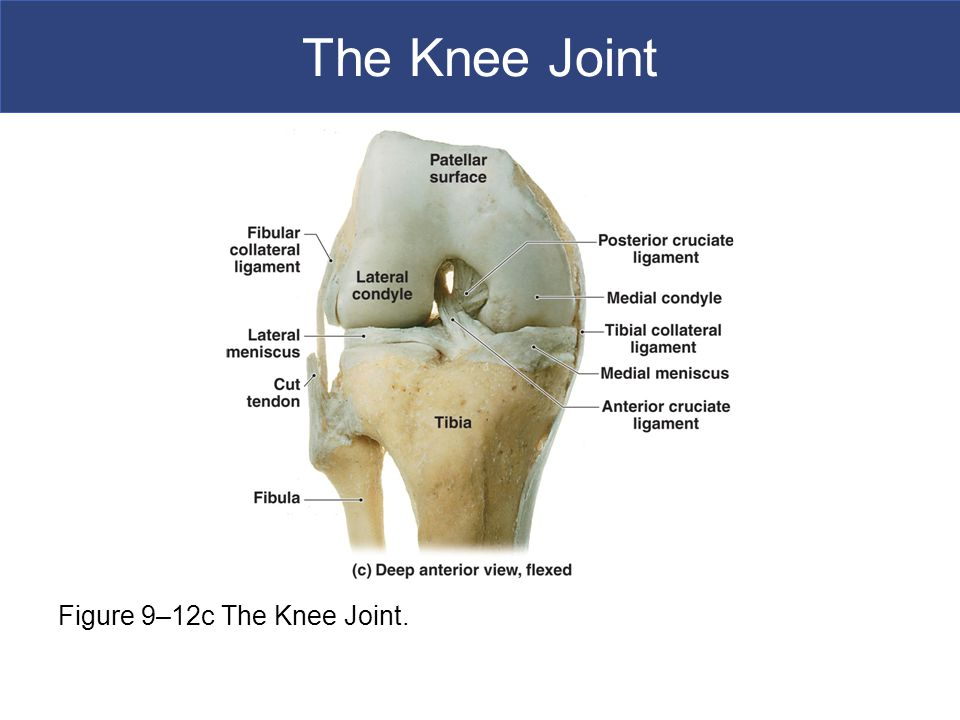 The Knee Joint Figure 9–12c The Knee Joint.