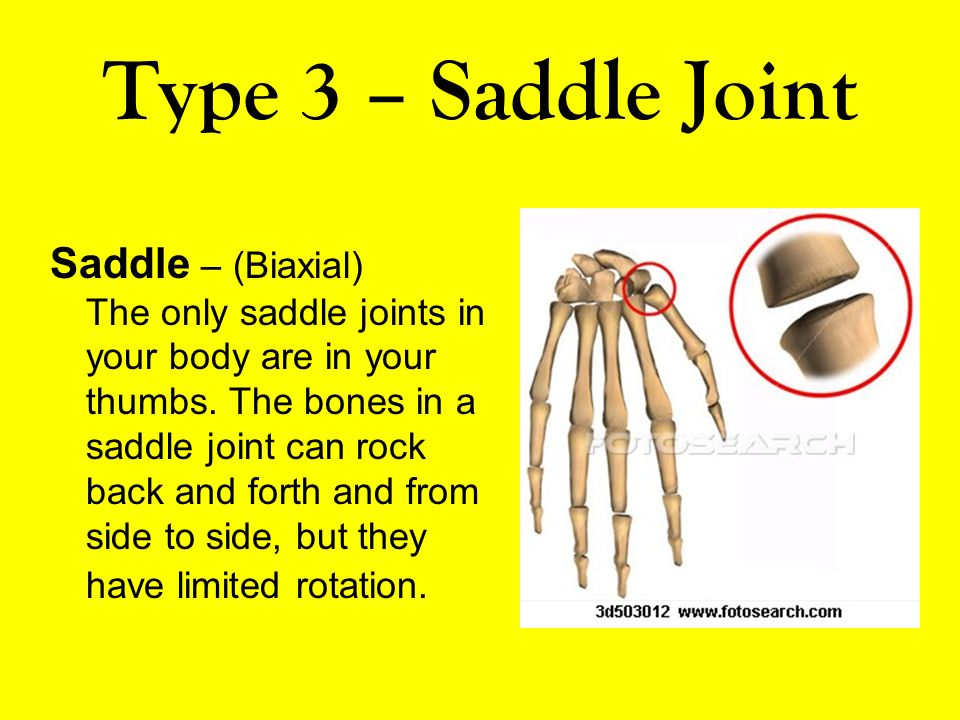 Type 3 – Saddle Joint Saddle – (Biaxial) The only saddle joints in your body are in your thumbs. The bones in a saddle joint can rock back and forth a