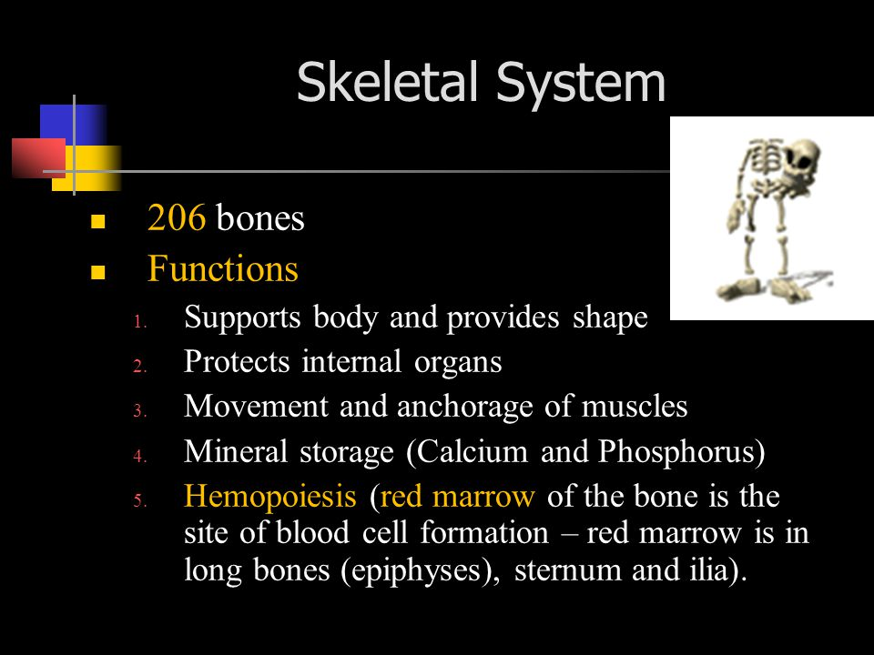 206 bones Functions 1.Supports body and provides shape 2.