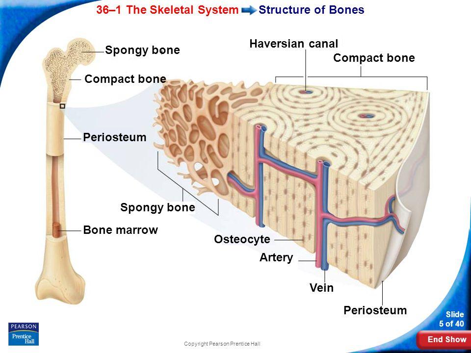 End Show 36–1 The Skeletal System Slide 5 of 40 Copyright Pearson Prentice Hall Structure of Bones Bone marrow Periosteum Spongy bone Compact bone Haversian canal Compact bone Spongy bone Periosteum Osteocyte Artery Vein