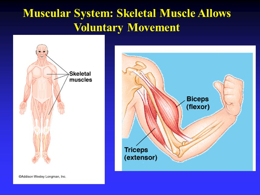 Muscular System: Skeletal Muscle Allows Voluntary Movement