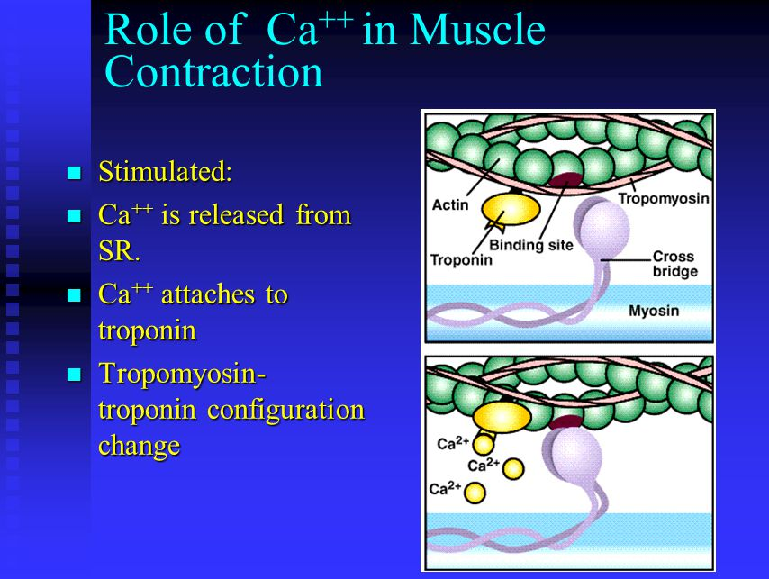 Role of Ca ++ in Muscle Contraction Stimulated: Stimulated: Ca ++ is released from SR. Ca ++ is released from SR. Ca ++ attaches to troponin Ca ++ att