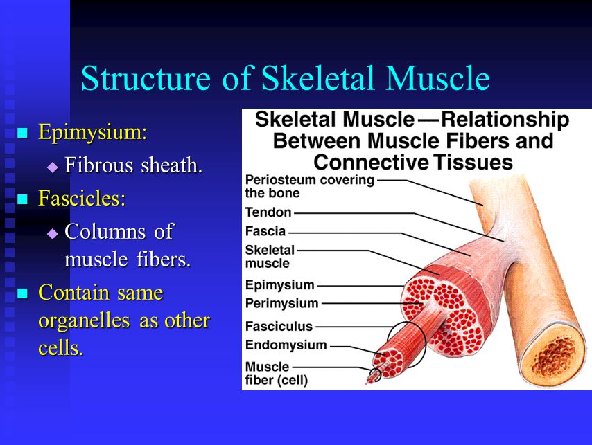 Structure of Skeletal Muscle Epimysium: Epimysium:  Fibrous sheath. Fascicles: Fascicles:  Columns of muscle fibers. Contain same organelles as othe