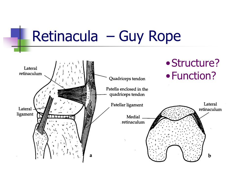 Retinacula Structure Function – Guy Rope