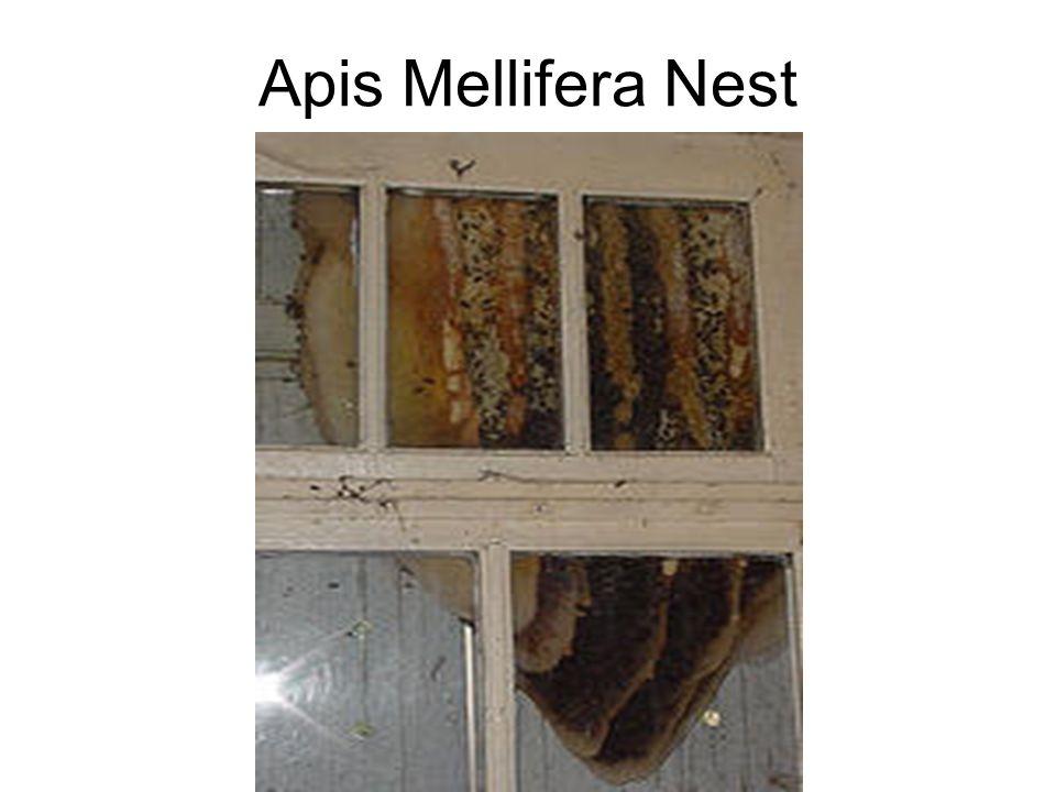 Apis Mellifera Nest