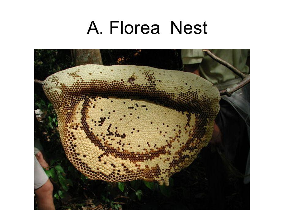 A. Florea Nest