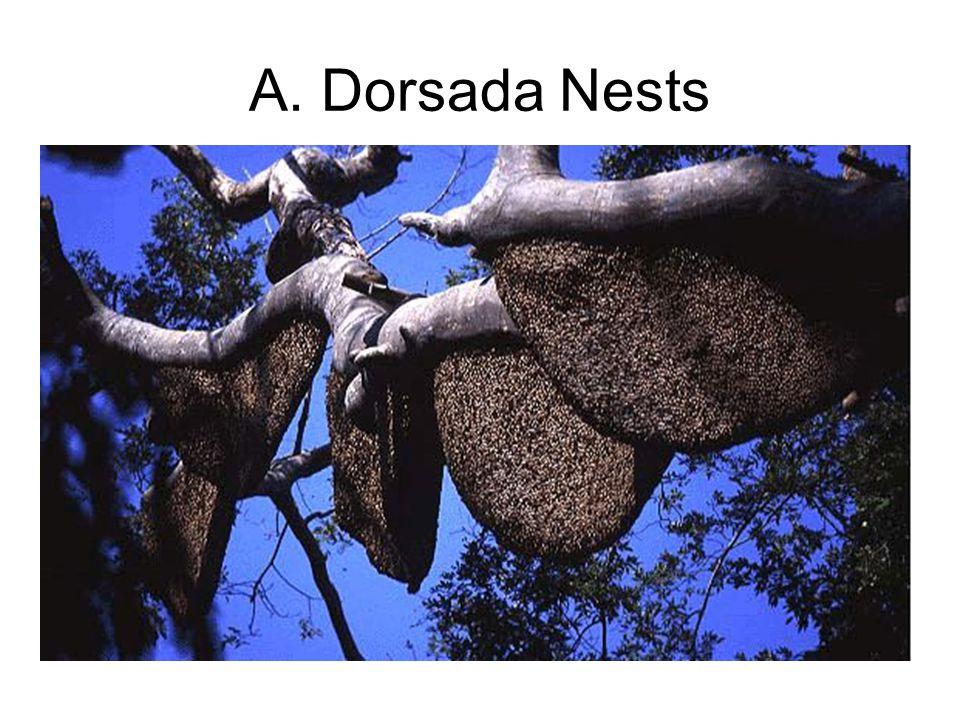 A. Dorsada Nests