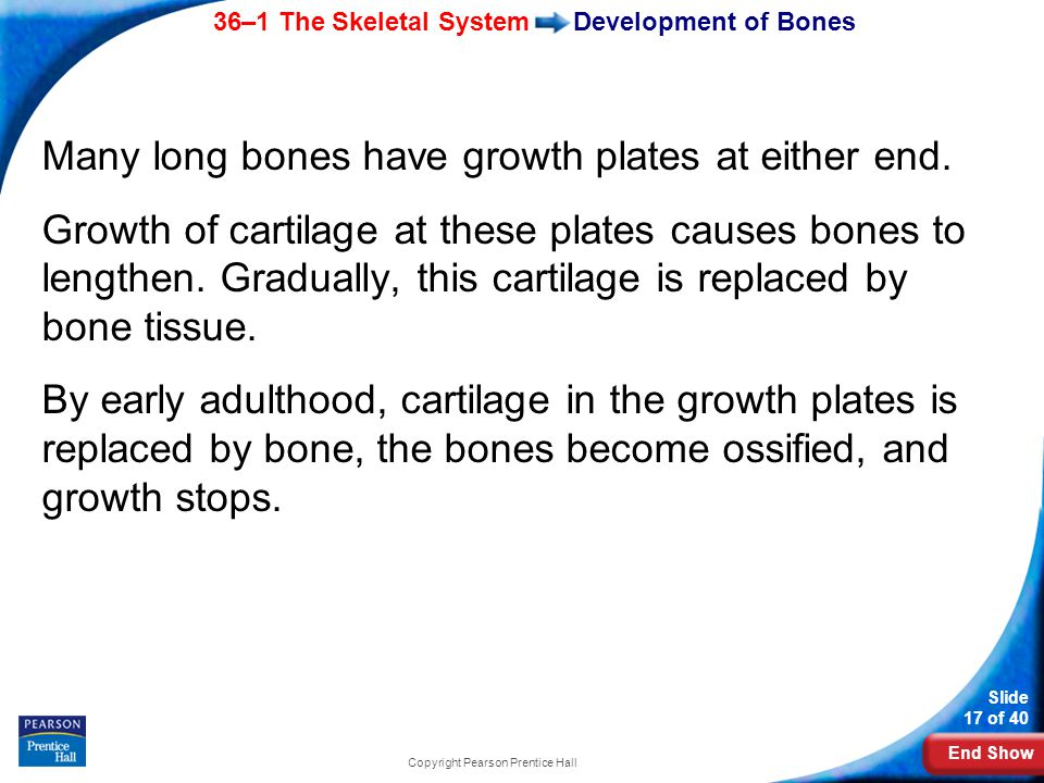 End Show 36–1 The Skeletal System Slide 17 of 40 Copyright Pearson Prentice Hall Development of Bones Many long bones have growth plates at either end.