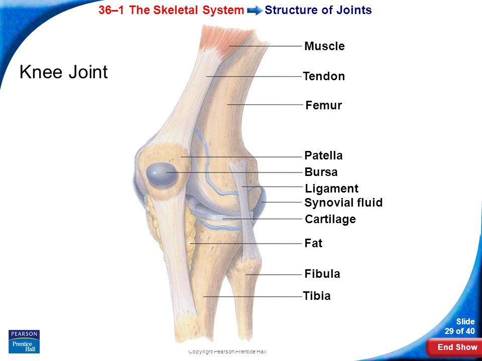 End Show 36–1 The Skeletal System Slide 29 of 40 Copyright Pearson Prentice Hall Structure of Joints Knee Joint Muscle Tendon Femur Patella Bursa Ligament Synovial fluid Cartilage Fat Fibula Tibia