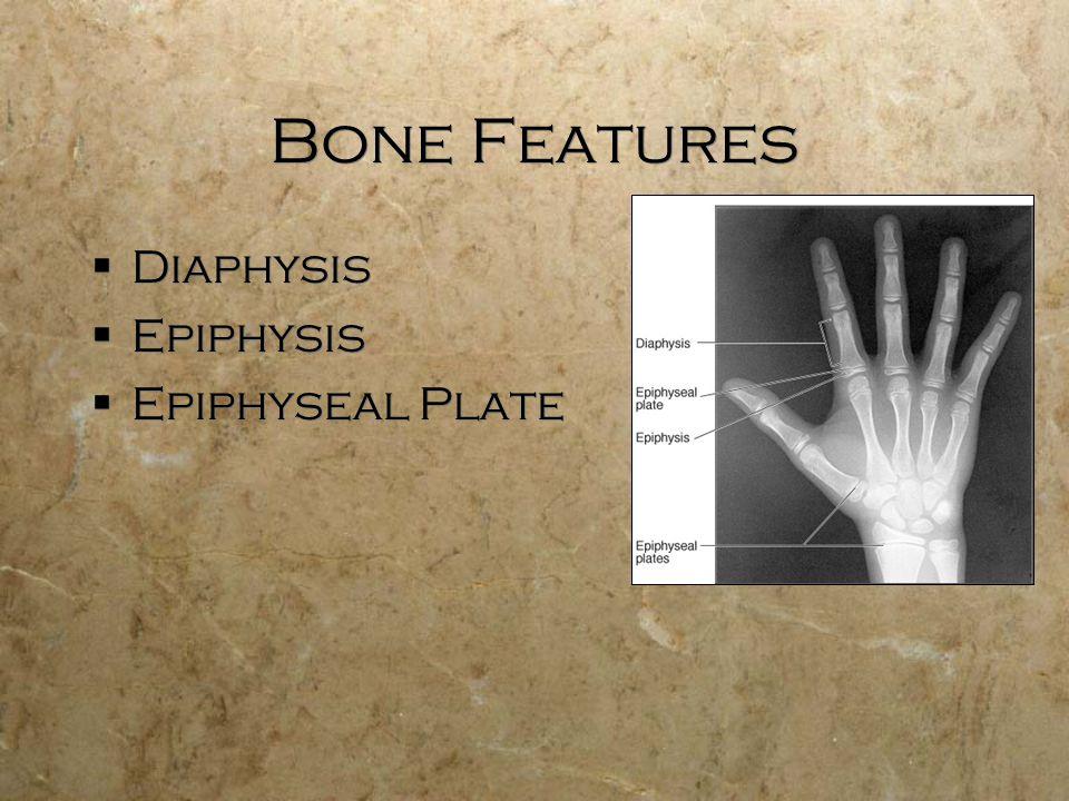 Bone Features  Diaphysis  Epiphysis  Epiphyseal Plate  Diaphysis  Epiphysis  Epiphyseal Plate