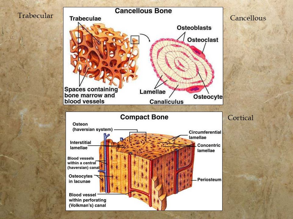 Cortical Trabecular Cancellous