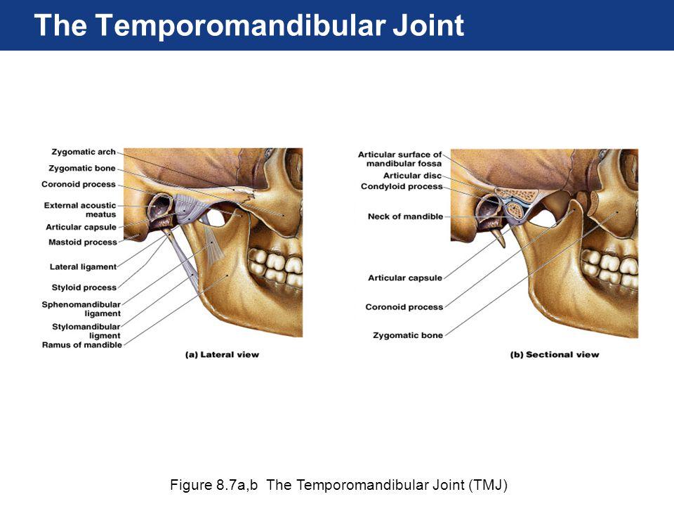 Figure 8.7a,b The Temporomandibular Joint (TMJ) The Temporomandibular Joint