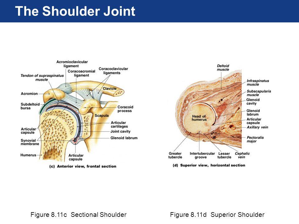 Figure 8.11c Sectional ShoulderFigure 8.11d Superior Shoulder The Shoulder Joint