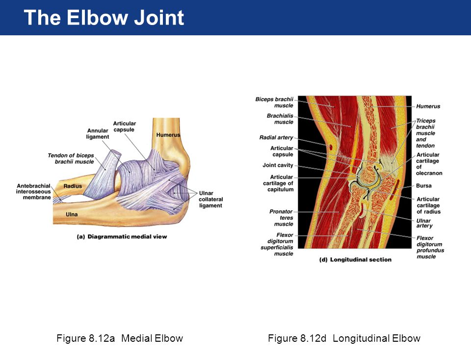 Figure 8.12a Medial ElbowFigure 8.12d Longitudinal Elbow The Elbow Joint