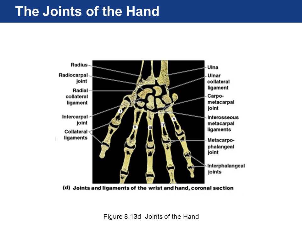Figure 8.13d Joints of the Hand The Joints of the Hand