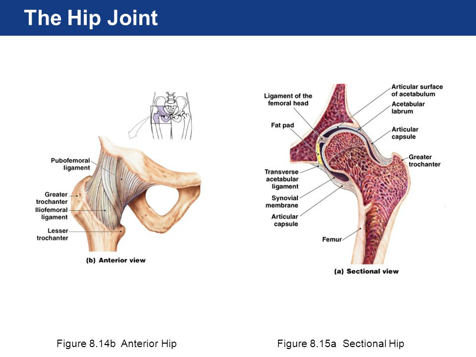 Figure 8.14b Anterior HipFigure 8.15a Sectional Hip The Hip Joint