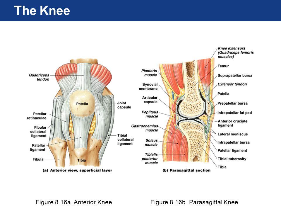 Figure 8.16a Anterior KneeFigure 8.16b Parasagittal Knee The Knee