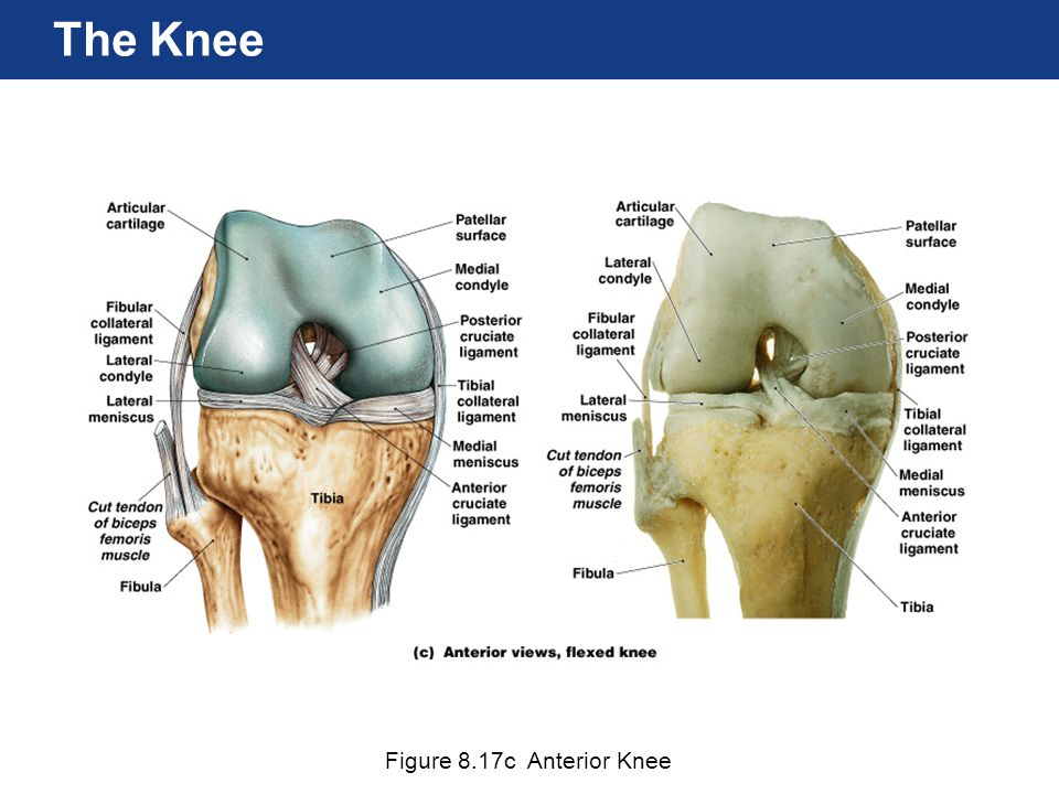 Figure 8.17c Anterior Knee The Knee