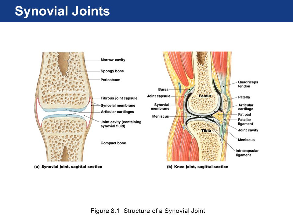 Figure 8.1 Structure of a Synovial Joint Synovial Joints
