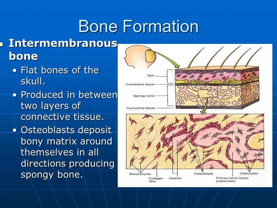 Bone Formation Osteocytes – Bone cells Osteocytes – Bone cells Osteoblasts – Bone forming cells Osteoblasts – Bone forming cells Osteoclasts – Dissolve bone tissue Osteoclasts – Dissolve bone tissue