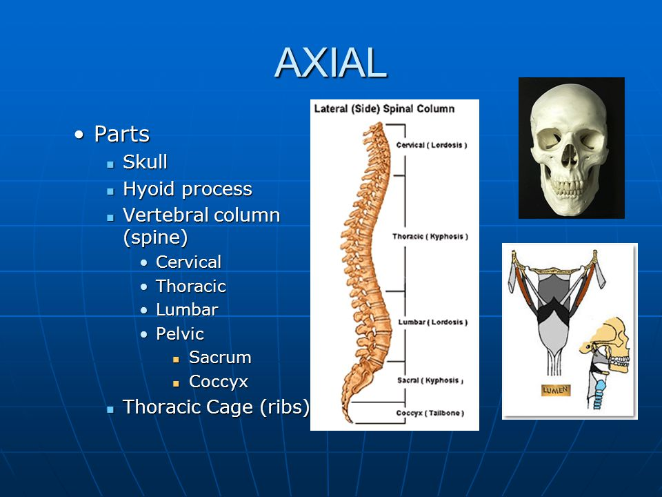 Divisions of the Skeletal system Axial Axial Central ColumnCentral Column Protects and supports the head, neck, and trunk.Protects and supports the head, neck, and trunk.